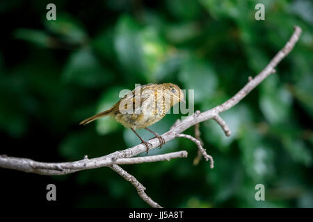 Immature juvenile European robin (Erithacus rubecula) perching on a branch in summer in a garden in Surrey, southeast - Stock Photo