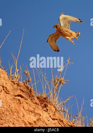 Common kestrel - Falco tinnunculus - Stock Photo