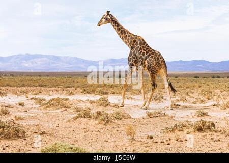 giraffe in landscape of South Africa, wildlife safari - Stock Photo
