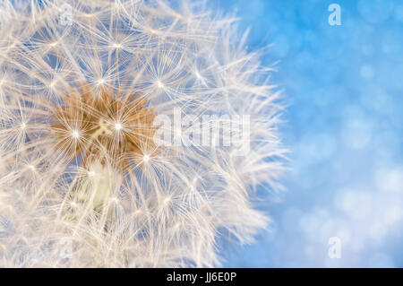 Dandelion flower with seeds ball close up in blue bright bokeh background - Stock Photo