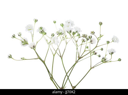 Twigs with flowers of Gypsophila isolated on white background. - Stock Photo