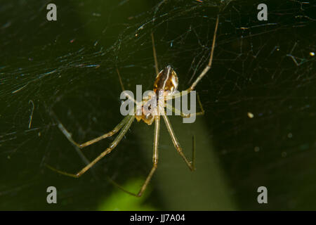Small spider, a Linyphia species, in a web against a green background - Stock Photo