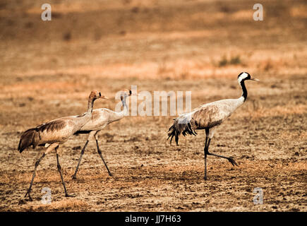 Common Crane, (Grus grus), two juveniles follow an adult parent in Velavadar National Park, Gujarat, India - Stock Photo