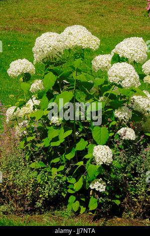 Hortensie Annabell blossoms flowers hortensie hydrangea stock photo royalty free image