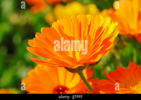 Pot Marigold / (Calendula officinalis) / English Garden Marigold, Garden Marigold, English Marigold, Garden-Pot - Stock Photo