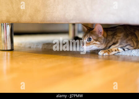 Female Bengal cat moving slowly and silently underneath sofa ready to attack  Model Release: No.  Property Release: - Stock Photo