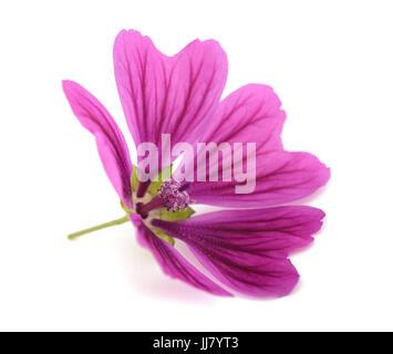 Violet 'Common Mallow' flower  (Malva Sylvestris) isolated on white background - Stock Photo