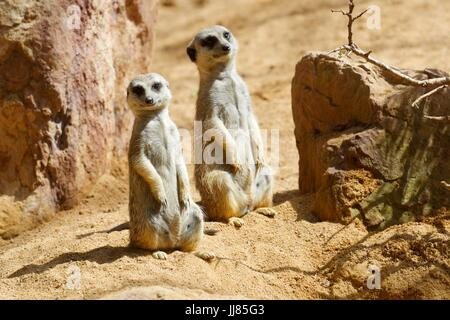 Meerkat in a zoo. Animal photographed in captivity. Valencia, Spain. - Stock Photo