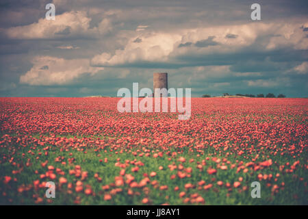 Red poppies in a field in England. A large field of red poppies at golden hour to catch the golden light and sunset - Stock Photo