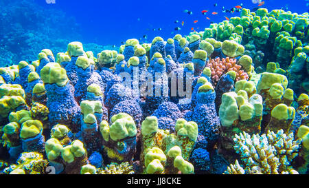Hard corals and small fish in the Red Sea. Egypt - Stock Photo