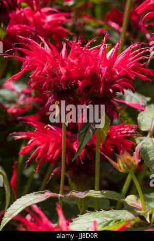Bright scarlet summer flowers of the hardy perennial bergamot, Monarda 'Gardenview Scarlet' - Stock Photo