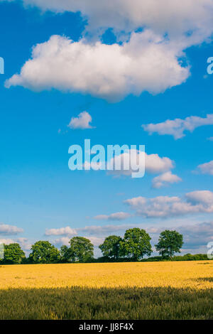A yellow wheat filed with green trees in background. Green trees on the horizon a white clouds in blue sky above. - Stock Photo