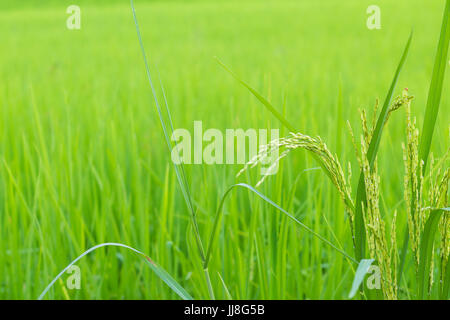 Green rice in Cultivated Agricultural Field Early Stage of Farming Plant Development Selective Focus with Shallow - Stock Photo