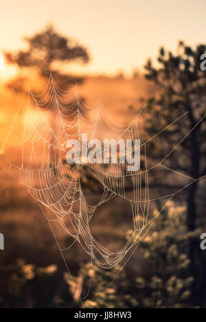 Close-up from spider web at summer night in Torronsuo National Park, Finland - Stock Photo