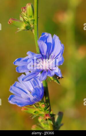 Common Chicory, North Rhine-Westphalia, Germany / (Cichorium intybus) / Blue Sailors, Coffeeweed | Gemeine Wegwarte, - Stock Photo