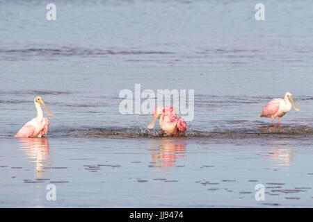 Roseate Spoonbills (Platalea ajaja) Bathing, J.N. ''Ding'' Darling National Wildlife Refuge, Sanibel Island, Florida, - Stock Photo