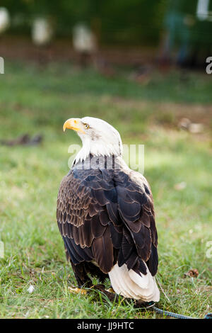 majestic bald eagle - american eagle, Haliaeetus leucocephalus - Stock Photo