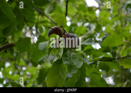 Victoria plums growing in a bunch on tree re fruit trees summer fruit common fruit - Stock Photo