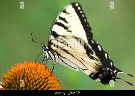 Yellow Eastern Tiger Swallowtail Butterfly Feeding on Cone Flower from My Backyard - Stock Photo
