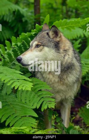 Gray wolf (Canis lupus} Captive raised adult, Minnesota Wildlife Connection, Sandstone, Minnesota, USA - Stock Photo