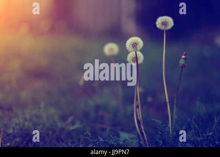 Dandelion flower in sunset. This image is exclusive for Alamy only - Stock Photo