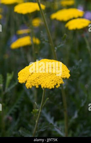 Achillea filipendulina 'Gold Plate' flowers. - Stock Photo