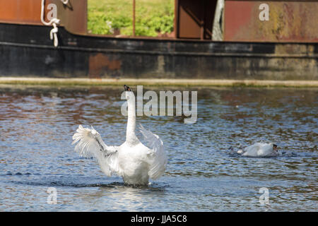 Maidenhead, UK. 18th July, 2017. A family of swans on the River Thames on the second day of the Swan Upping census. - Stock Photo