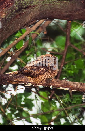 Jungle Nightjar, Caprimulgus indicus, perched on branch and camouflaged, Keoladeo Ghana National Park, Bharatpur, - Stock Photo