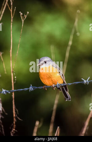 Eastern Yellow Robin, (Eopsaltria australis),perched on barbed wire, Lamington National Park, Queensland, Australia - Stock Photo