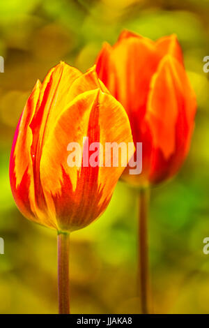 Tulips, tulipa blooming in spring time, dyed with a wide variety of colors - Stock Photo