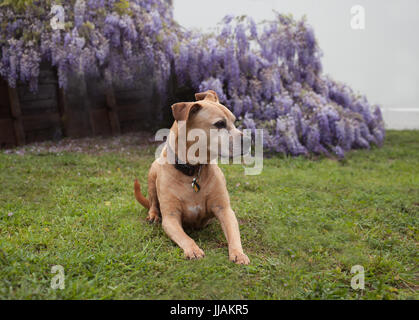 senior mixed breed tan pit-bull dog lays on the grass looking to his left in front of fully bloomed purple wisteria - Stock Photo