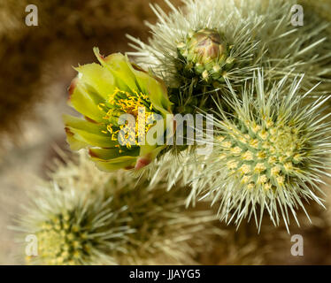 Cholla Cactus blooming, early spring in the Mojave desert, don't touch they don't let go