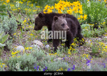 Two grizzly bear cubs of the year from the grizzly bear nicknamed Blondie walking through a small field of wildflowers. - Stock Photo