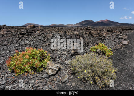 Sparsely vegetation between black lava fields in the bizarre volcanic landscape of Timanfaya National Park on a - Stock Photo