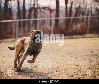 Belgian Malinois puppy running happily outside unleashed at dog park - Stock Photo