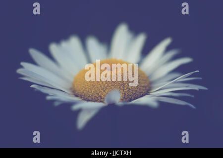 Isolated Daisy on Midnight Blue Background - Stock Photo