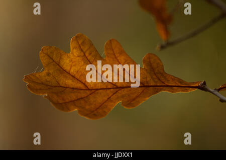 Green oak leaf isolated over natural background - Stock Photo