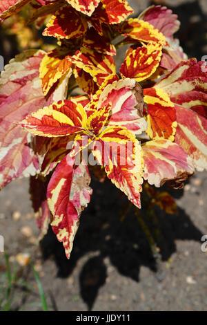 Solenostemon. Dark Red and Yellow Coleus, Solenostemon scutellarioides, Lamiaceae - Stock Photo
