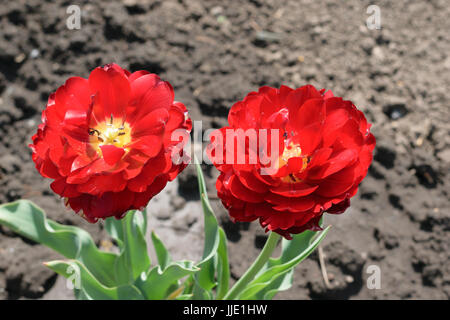 two Double Bowl-Shaped red tulips - Stock Photo