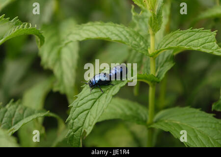 two blue mint beetle ( Chrysolina coerulans ) on fresh organic peppermint leaves - Stock Photo