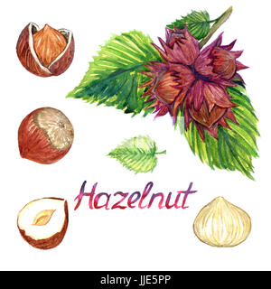 Hazelnut branch with nuts and nuts with opened shell, isolated hand painted watercolor illustration - Stock Photo