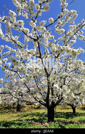 Flowering sweet cherries - Stock Photo