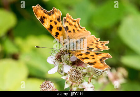 Close-Up Detail of a Comma Butterfly  (Polygonia c-album) Feeding on Bramble Flowers by the River Torridge. Near - Stock Photo
