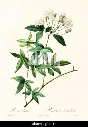Old illustration of Rosa banksiae. Created by P. R. Redoute, published on Les Roses, Imp. Firmin Didot, Paris, 1817 - Stock Photo