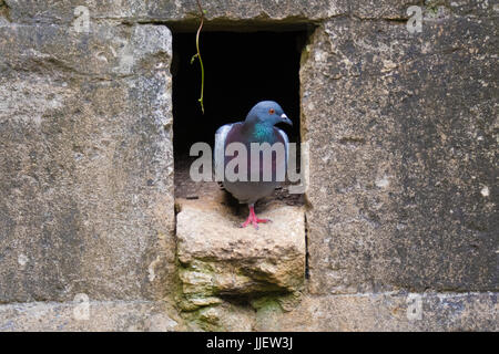 Feral pigeon (Columba livia) emerging from nest hole in wall. Attractive rock dove or rock pigeon, in the family - Stock Photo