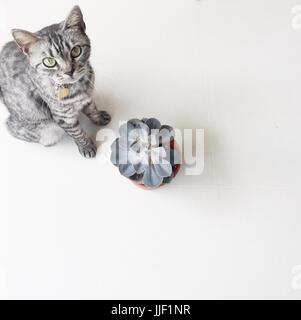 Grey striped American shorthair cat sitting by a succulent plant