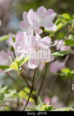 Rhododendron schlippenbachii - Royal Azalea - Stock Photo