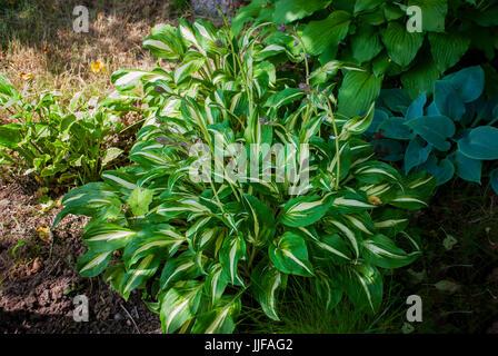 Hosta in the garden - Stock Photo