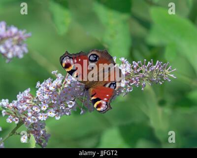 Peacock Butterfly Inachis io on garden buddeia - Stock Photo