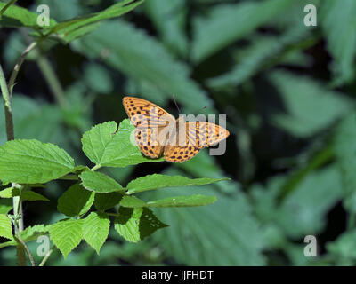 Silver-washed Fritillary Argynnis paphia feeding on budlea Holt country park Norfolk - Stock Photo